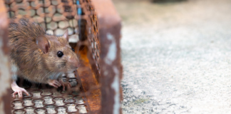 What attract rats to your home